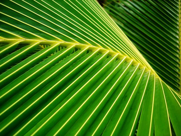 Big Green Palm Leaves WP tangledwing