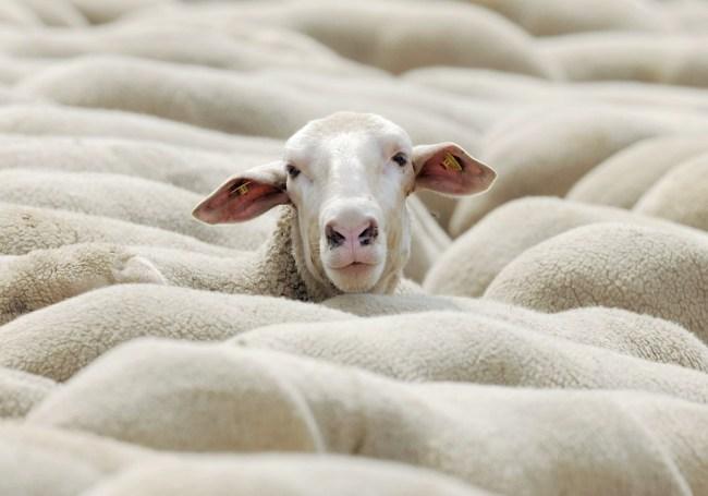 Germany Shepherds Championships