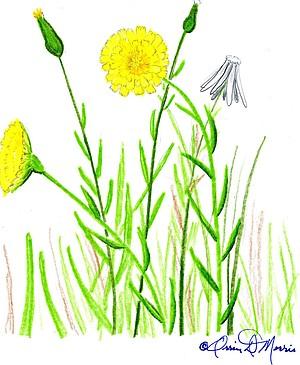 YELLOW HAWKWEED Hieracium gronovii