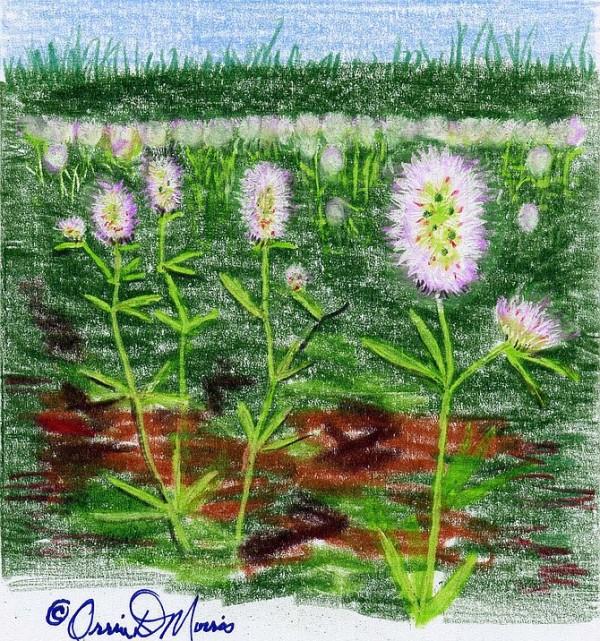 Rabbit's Foot Clover Trifolium arvense