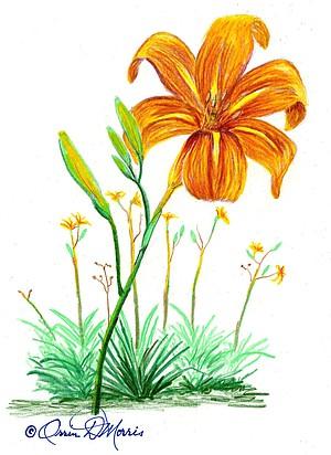 Wild Daylily HEMEROCALLIS FULVA