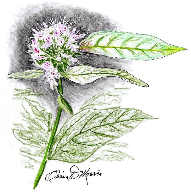 WHITE HORSEMINT Pycnanthemum incanum