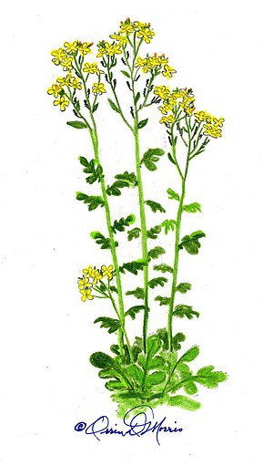 BLACK MUSTARD Brassica nigra
